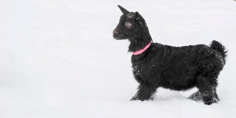 baby goats in the snow_8