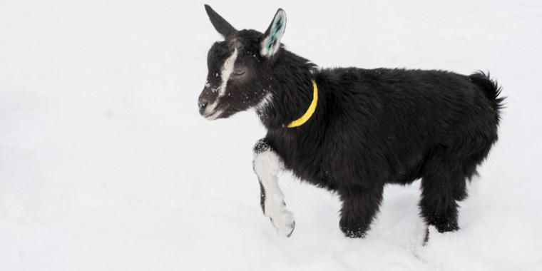 baby goats in the snow_9