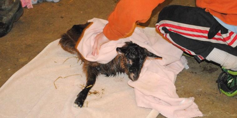 goat birth vanish_1