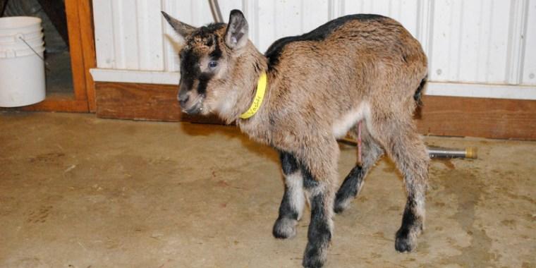 goat birth vanish_5