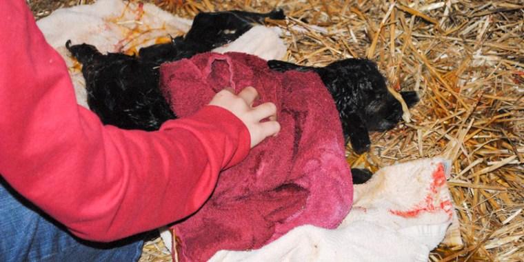goat birth zipporah_4