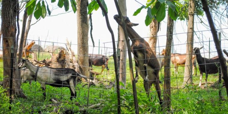 goat collars_blog