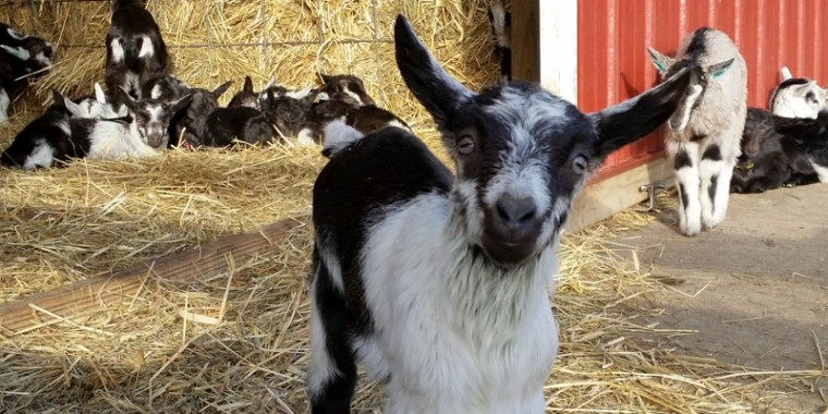 lots of baby goats_blog_3