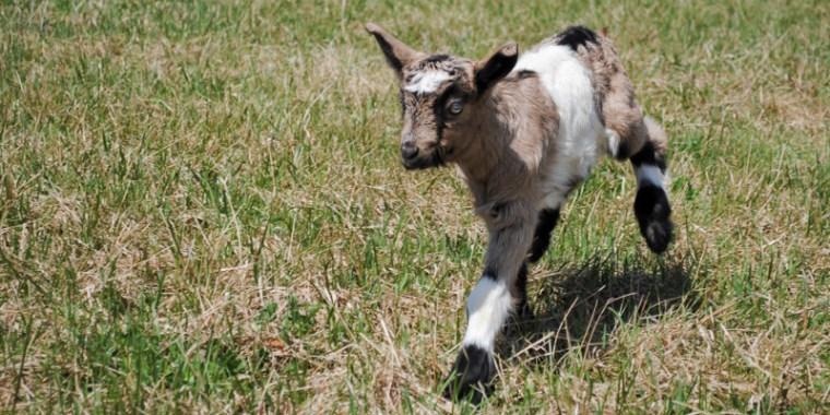 zany baby goats_blog_6