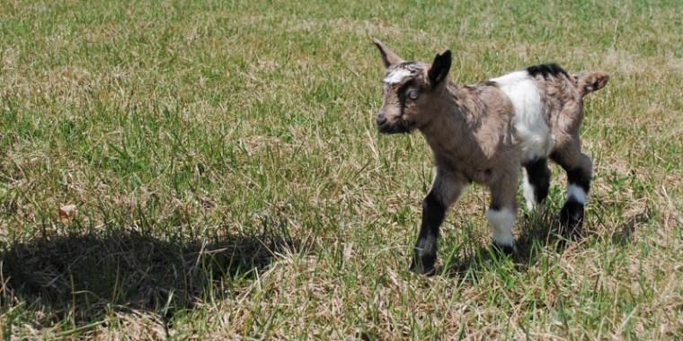 zany baby goats_blog_7