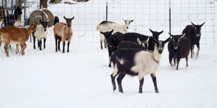 goats in the snow_blog