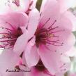 CherryBlossom.ManorParkNY