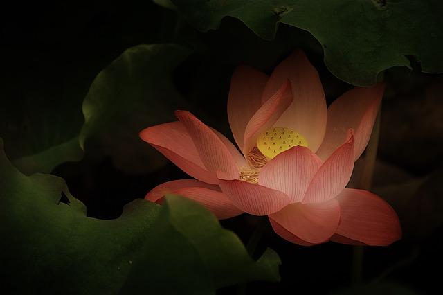 lotus-1733817_640