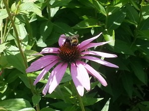 Bee on a coneflower pic