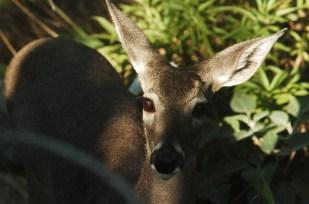 Deer87**