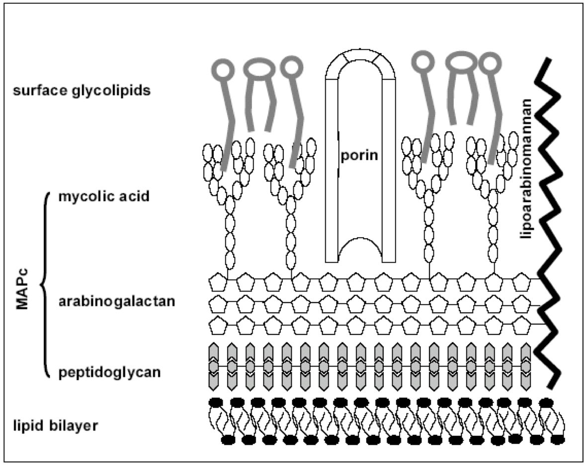 Overview Of The Mycobacterial Mycolic Acid Biosynthesis