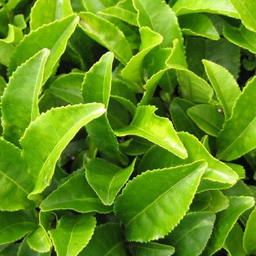 L-Teanina / Camellia Sinensis