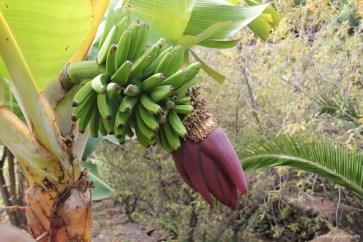 Bananowce na Teneryfie (2)
