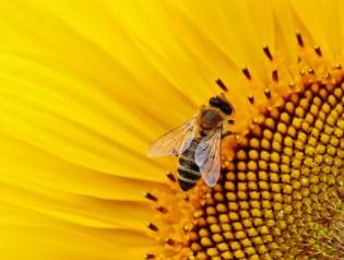 Bij, bijen, zonnebloem, natuur, honing, foto Pixabay