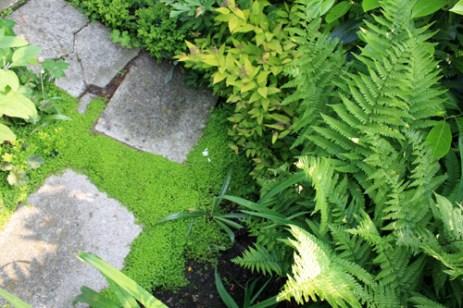 """Rien de tel qu'une petite mousse comme l'helxine pour """"japoniser"""" un jardin d'ombre peuplé de fougères et de spirées."""