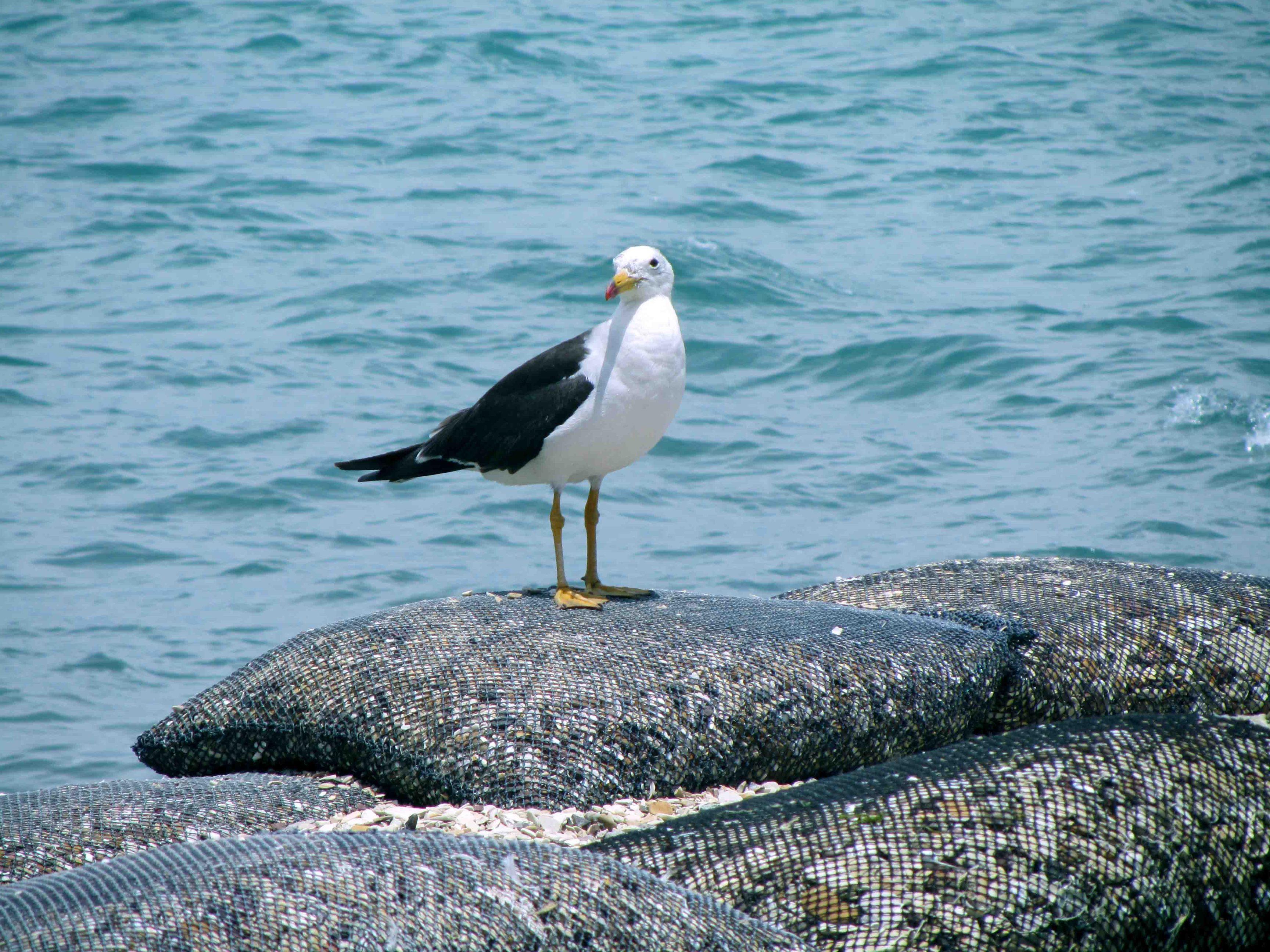 Diversidad de fauna. Wildlife diversity. Paracas, Ica, Peru. Photo credit, placeOK