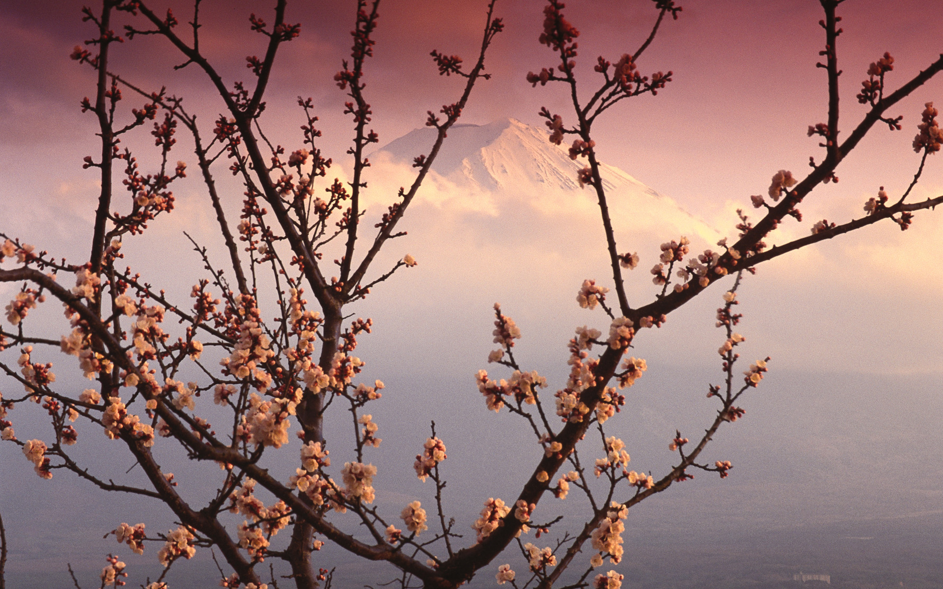 Mount Fuji and Plum Blossoms