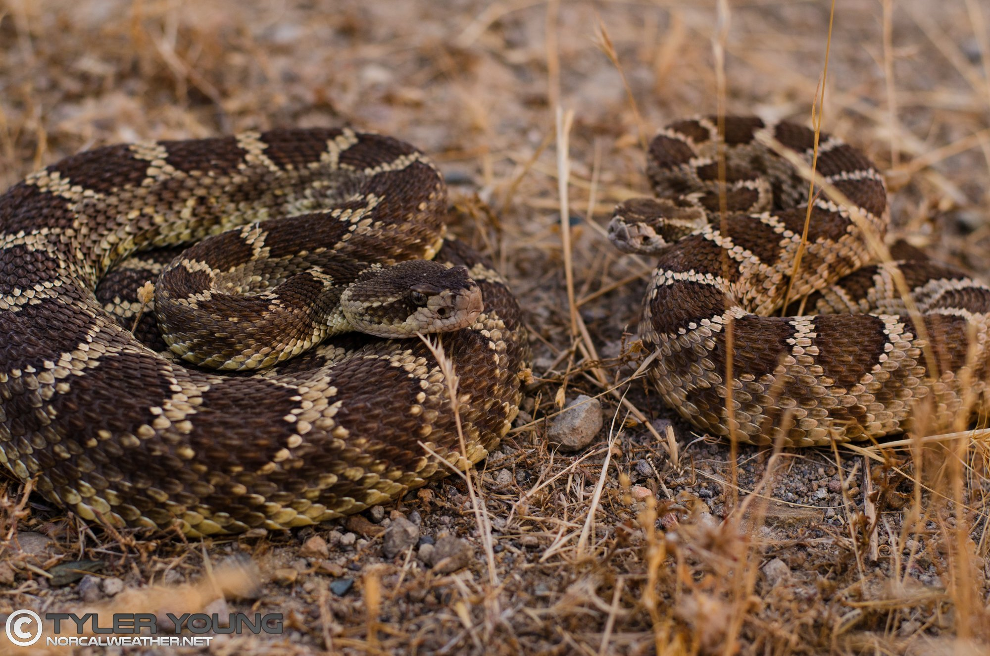 The Photography of Rattlesnakes