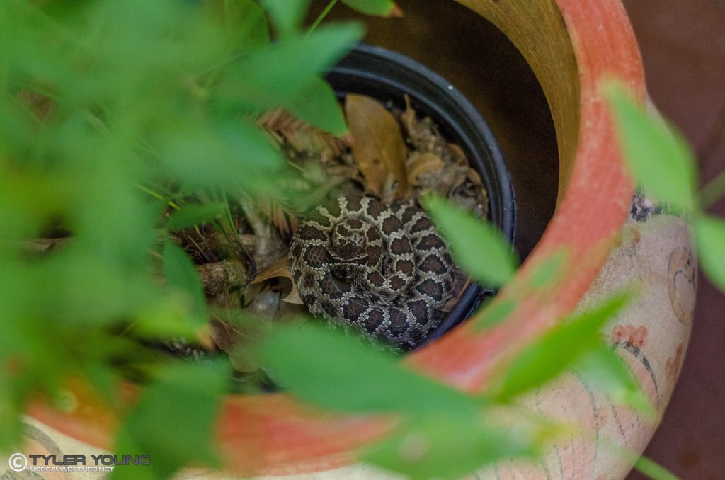 A juvenile rattlesnake that crawled its way into a flower pot in Loomis.