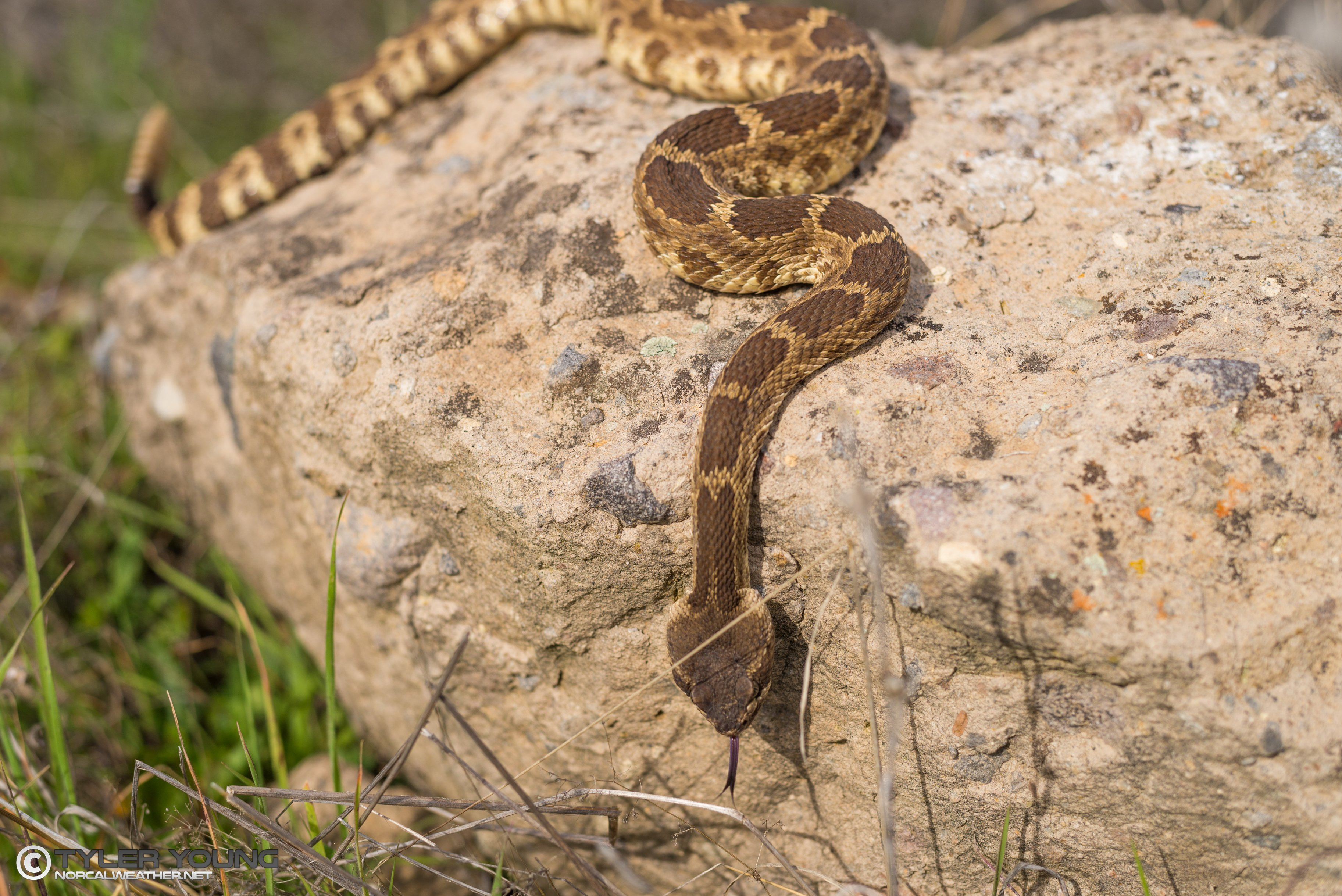 Is it Normal for Rattlesnakes to be out in February?