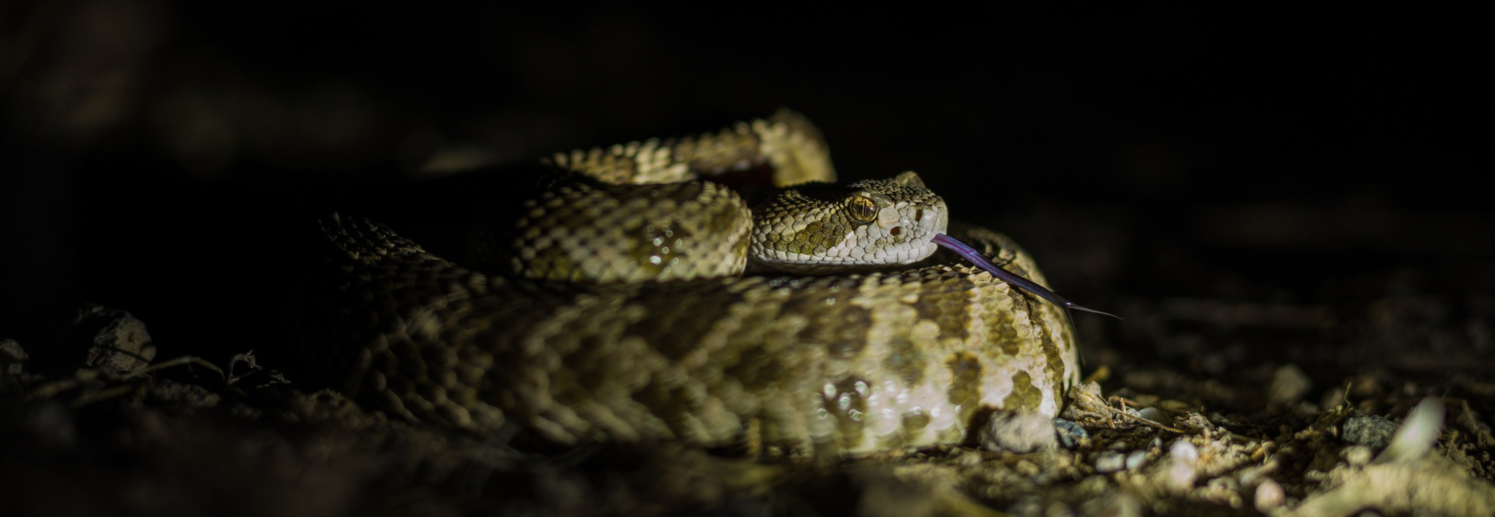 Rattlesnake Removal - Placer Snake Removal