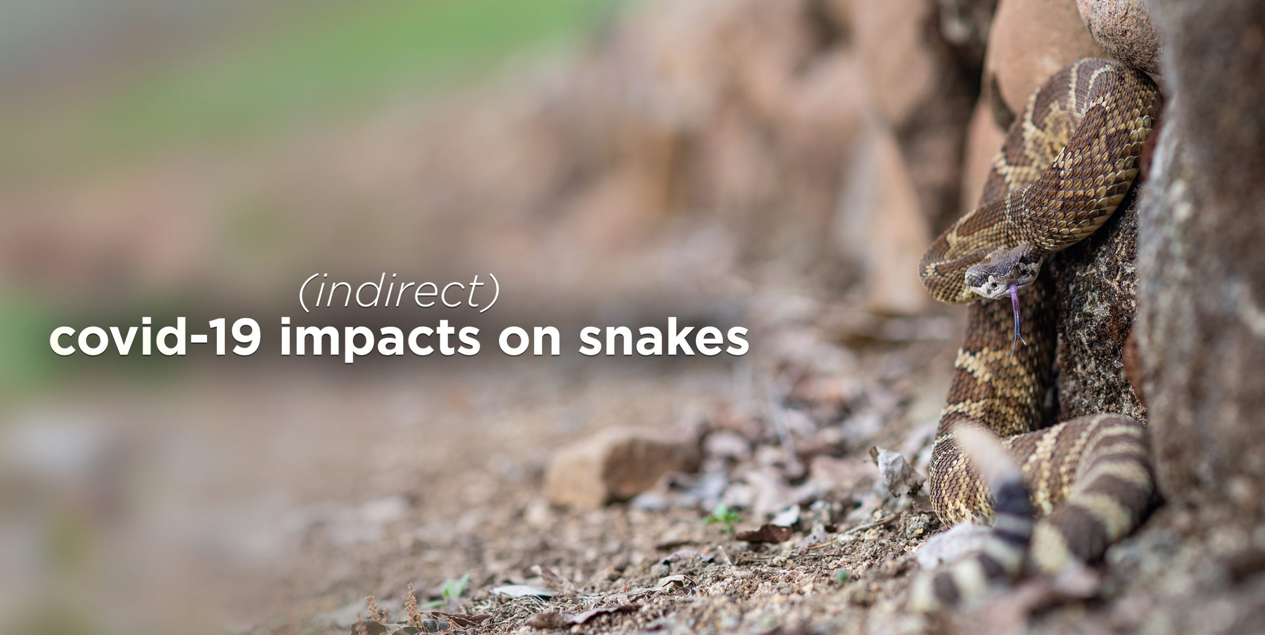 How The Coronavirus Pandemic Could (Indirectly) Impact Snakes