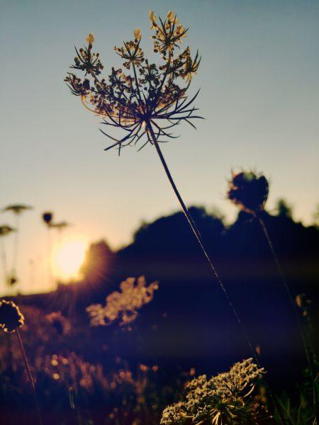 Nahaufnahme von Sommerwiese bei Sonnenuntergang - Gegenlicht