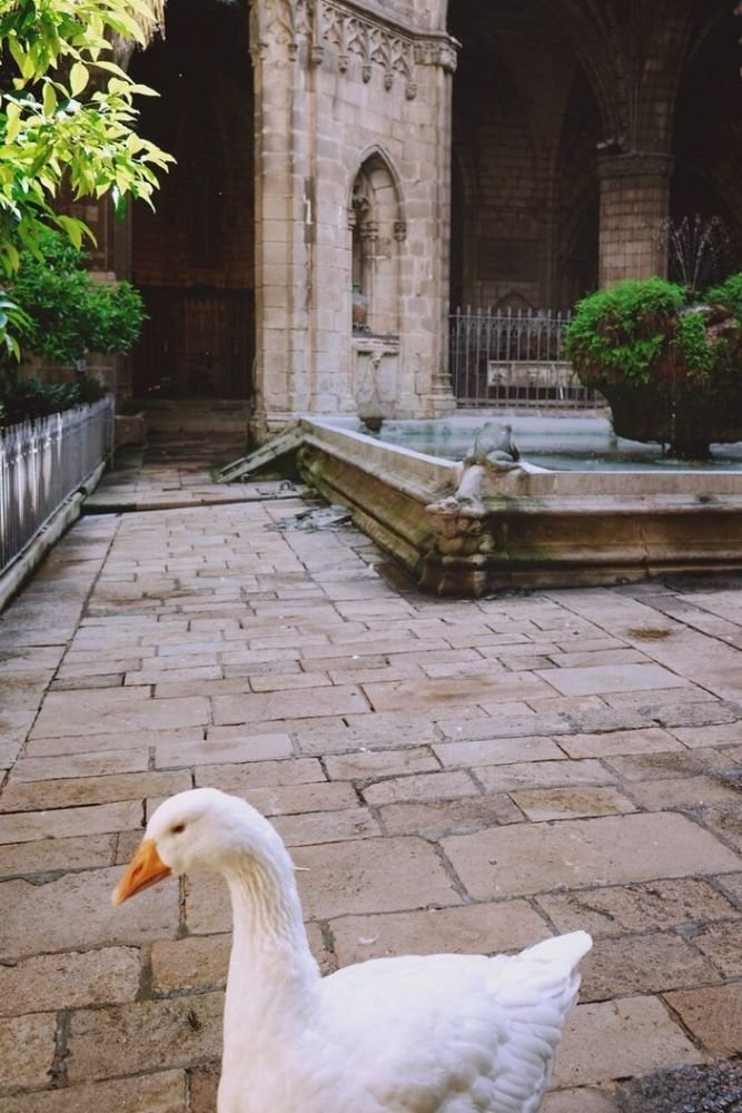 Barcelona - Catedral de Barcelona with geese