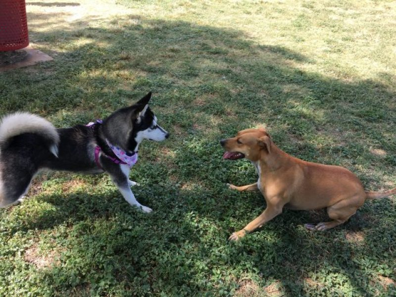 Abbey meets a cute husky puppy to play with at Pearsall Park Dog Park.