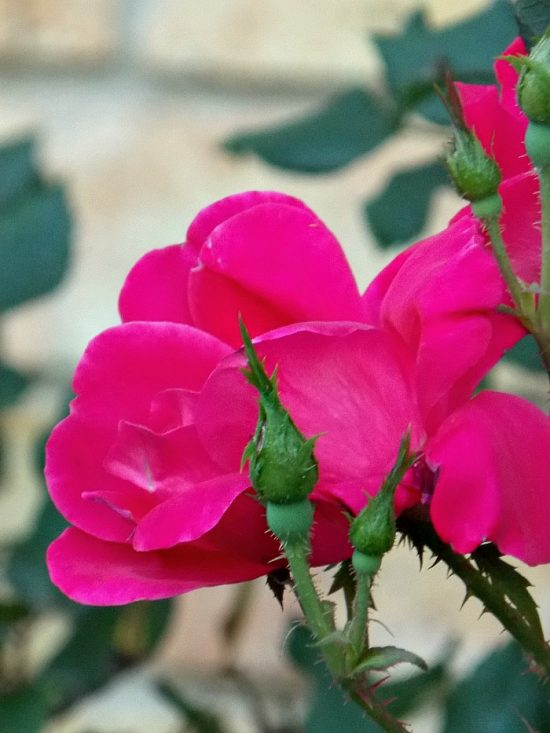 deep-pink-roses