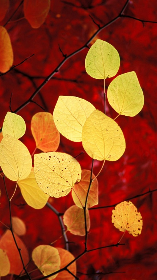 yellow-fall-leaves