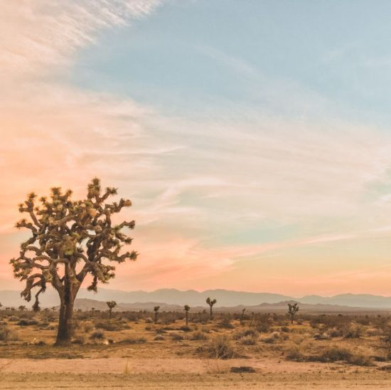 joshua-trees-at-sunrise