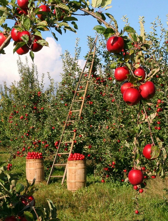 apple trees picking