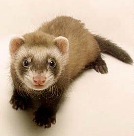 For reference, here is a cute picture of a ferret.
