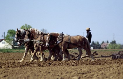 Amish Man farming with his horses