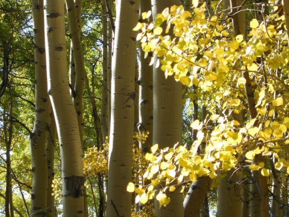 Fall Colors - Aspens