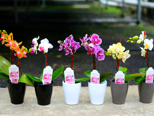 plainview-growers-orchids-micro-minis