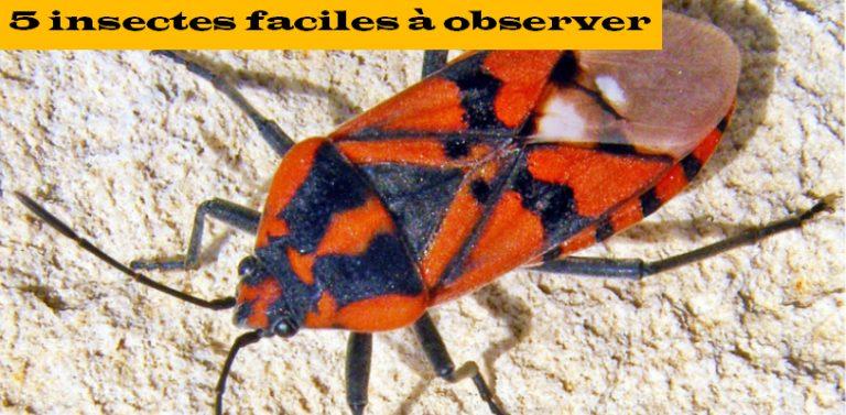 5 insectes faciles à observer