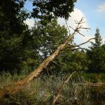 阿見町 景観観光 神田池 枯れ木