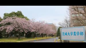茨城大学農学部 桜並木 阿見キャンパス 景観観光