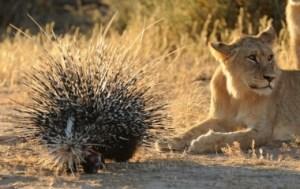 hotspot_porcupines_vs_lions_001