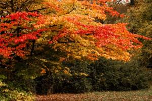 Cornus, Herbstfärbung