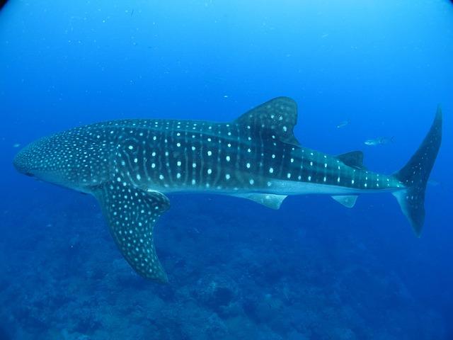plan b viajero, turismo responsable, como ser un viajero responsable, turismo sostenible, nadar con el tiburon ballena de manera responsable