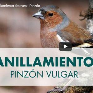 ANILLAMIENTO DE AVES: PINZON