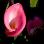 Calla, flor ideal para arranjos de casamento