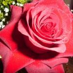 Rosa colombiana: mais farta que a comum, pode ser usada como buquê