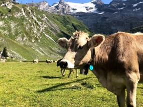 swiss alpine cow in the mountains with a bell