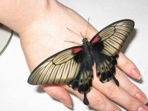 Papilio lowi f 2