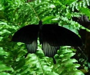 Papilio lowi m 2