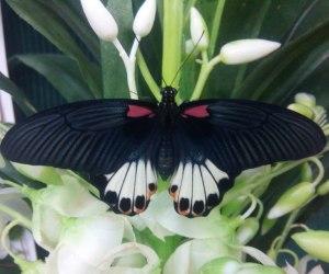 Papilio memnon f (2)